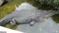 تمساح يلتهم عالمة حاولت إطعامه
