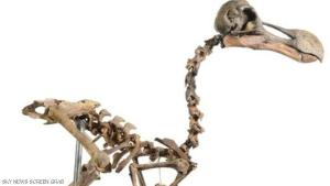 هيكل طائر الدودو يساوي ملايين الدولارات