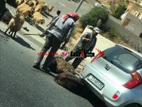 نفوق اغنام وحمار بحادث دهس في عمان (صور)