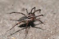 سم العناكب يعالج أخطر أنواع السرطان