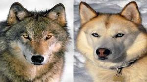 أيهما أكثر ذكاء  ..  الذئاب أم الكلاب؟