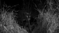 تصوير حيوان نادر لم يظهر منذ 100 عام! (فيديو)