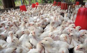 ملف الدجاج الأوكراني الى هيئة النزاهة ومكافحة الفساد (وثيقة)