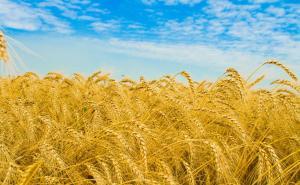الأردن يحجم عن شراء 100 ألف طن من القمح
