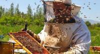ارتفاع إنتاج الأردن من العسل