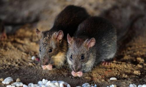 فئران عملاقة تغزو المنازل البريطانية