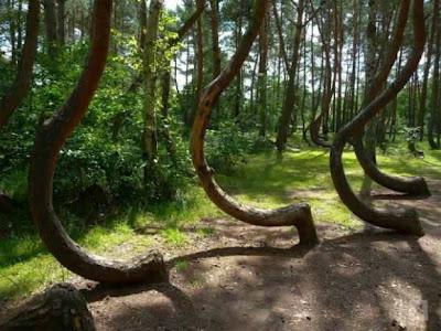 بالصور..من الألغاز المحيرةغابة الأشجار المعقوفة فى بولندا !  Image