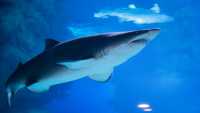 تعذيب وحشي لسمكة قرش يحرك القضاء الأمريكي (فيديو)