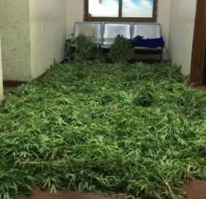 """ضبط 1300 شتلة """"ماريجوانا"""" داخل مزرعة في البلقاء"""