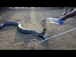 """هندي شجاع يسقى ثعبان """"الكوبرا"""" بزجاجة (فيديو)"""