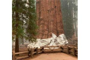 محاولات لإنقاذ أكبر شجرة في العالم ..