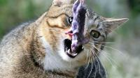 لماذا تتمسك القطط بهذه العادة المزعجة ؟