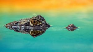 لقطات توثق ظهور رجل بين فكي تمساح! (فيديو)