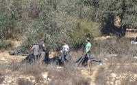 القبض على مستوطن يسرق ثمار الزيتون جنوب نابلس