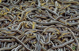 ضبط مجموعة كبيرة من الثعابين بحوزة حاج مصري (فيديو)