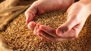 الحكومة: شحنة القمح الرومانية صالحة للاستهلاك