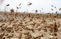 الزراعة: ارتفاع الحرارة يزيد خطر وصول الجراد للمملكة