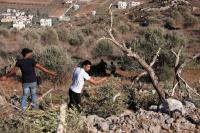 مستوطنون يقطعون عشرات الأشجار المعمرة في الخليل