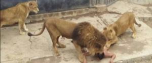 انتقادات حادة لحديقة حيوان بتشيلي قتلت أسدين لإنقاذ رجل من الانتحار