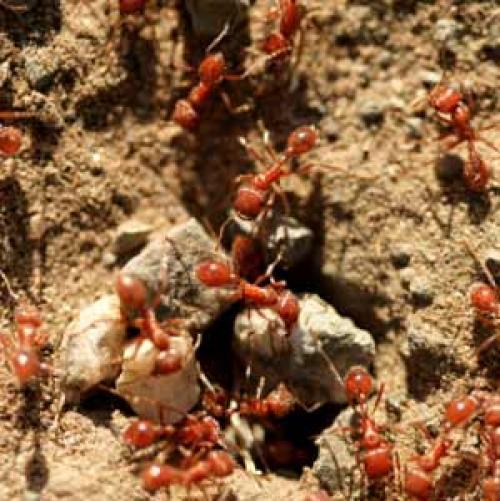 تعرف على نمل النار  Image