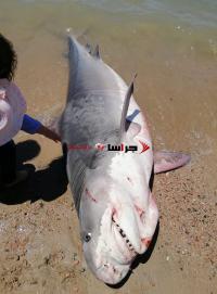 اصطياد نوع شرس من سمك القرش في العقبة (صور)