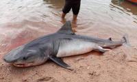 سمكة قرش على احد شواطئ العقبة (صور)