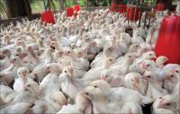 عقب دخول الدجاج الاوكراني ..  مطالب باقالة وزير الزراعة ومدير الغذاء