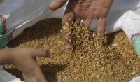 شراء 60 ألف طن من علف الشعير بمناقصة عالمية