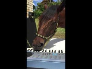 حصان موهوب يدهش متابعيه بالعزف على البيانو (فيديو)