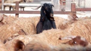 أماكن بيع وذبح الأضاحي في عمان