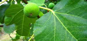 شجرة تين تودي بحياة شخص بوادي السير