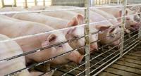 الخنازير قادرة على التنفس من خلال فتحة الشرج