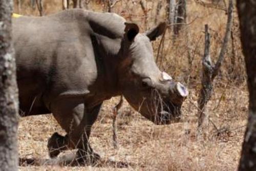 """زيمبابوي تنتزع قرون """" وحيد القرن """" (صور)"""