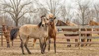 لماذا تصهل الخيول ؟