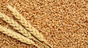 مختبرات تفحص شوائب القمح في العقبة