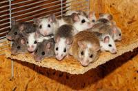 رجل يستخدم الفئران للاحتيال على الفنادق