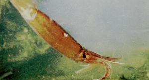 اصطياد حبار عملاق قبالة الشواطئ