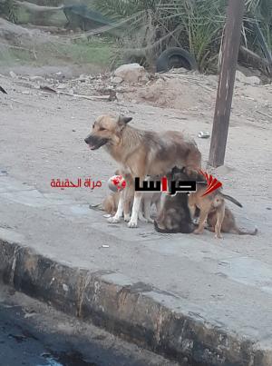 الكلاب الضالة تزعج زوار العقبة خلال العيد (صور)