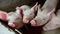 اختراق طبي ..  قلوب الخنازير قد تنقذ حياة البشر !