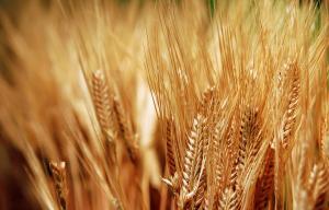 القمح الأردني من التصدير الى حافة الخطر