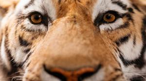 """نمر يلتقط """"سيلفي""""! (صور)"""