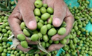 الزراعة: لا شأن لنا بتصدير الزيتون إلى الاحتلال
