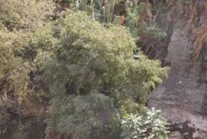 اربد الأكبر مساحة بالأشجار المثمرة والطفيلة الأقل