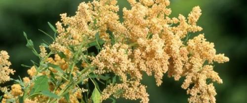 """بَديلُ القمح  ..  """"الكينوا"""" يُروى بالمياه المالحة وعلماء يعتبرونه محصول المستقبل"""