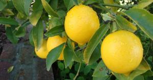 الزراعة تنفي استيراد شحنة ليمون من الصين
