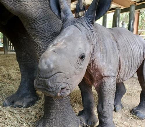 ولادة أنثى لوحيد القرن الأبيض المهدد بخطر الانقراض