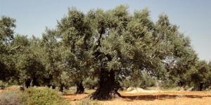 الأردن موطن للزيتون قبل 7400 عام