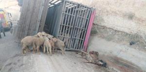نفوق عشرات الاغنام بتدهور شاحنة في عمان