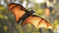 """الخفافيش تقدم مفتاح علاج """"كوفيد-19"""""""