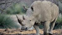 """أنثى وحيد القرن """"إيما"""" ستسافر للتزاوج"""